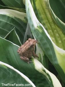 Fresh Baby Frog on Fresh Hosta Leaves