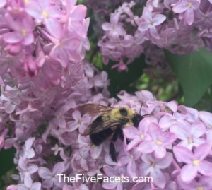 Fresh Lilac Blooms with Bumblebee