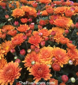 Fall Color to Lift My Spirits - Mums