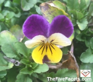 Spring Viola