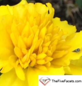 Yellow Mum